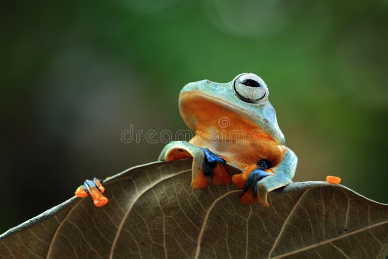 Grenouille volante sur des feuilles, grenouille d'arbre javan, grenouille d'arbre photographie stock libre de droits