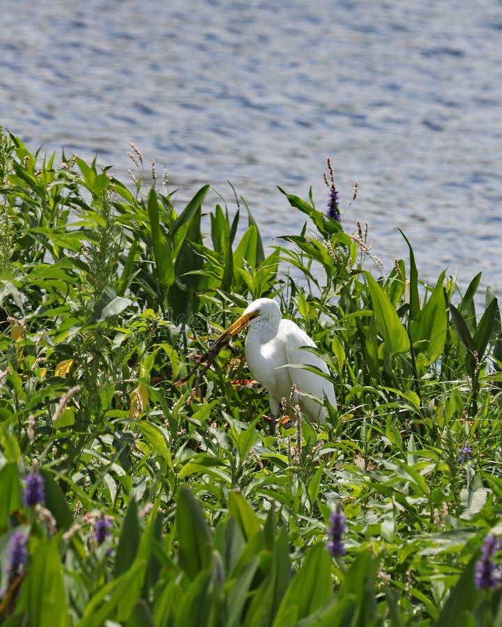 Grenouilles contagieuses de grand héron blanc dans le marais photo stock