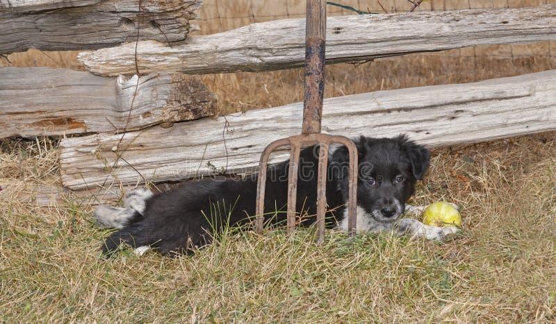 Grens Collie Puppy Lying Behind een Hooivork stock foto's