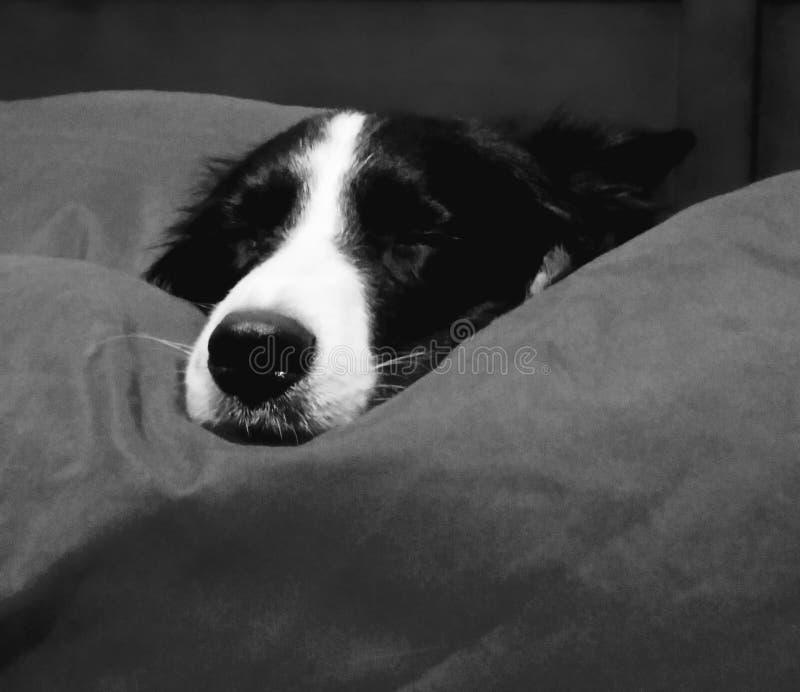 Grens Collie Sleeping royalty-vrije stock afbeeldingen