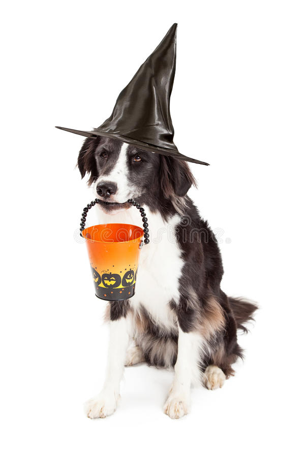 Grens Collie Witch Halloween Dog stock foto's