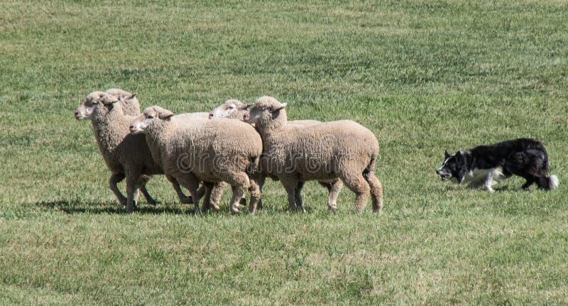 Grenz-Collie Herding Sheep-Nahaufnahme lizenzfreies stockbild