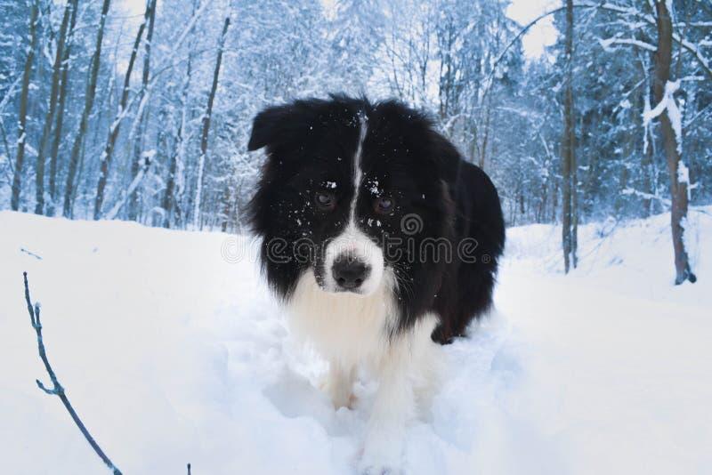 Grenze Colie in der Winterzeit lizenzfreie stockfotografie