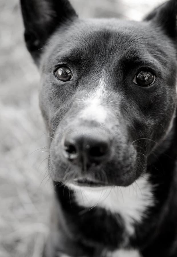 Grenze Collie Mix Black und weißes Annahme-Foto lizenzfreie stockfotos