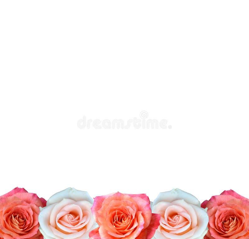 Grenze von den roten und weißen Rosen lokalisiert auf weißem Hintergrund stockfotos