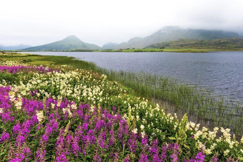 Grenze von Farstadvatnet See in Vestvagoy-Insel von Lofoten-Archipel bedeckt mit Blumen Nordland, Nord-Norwegen lizenzfreie stockbilder