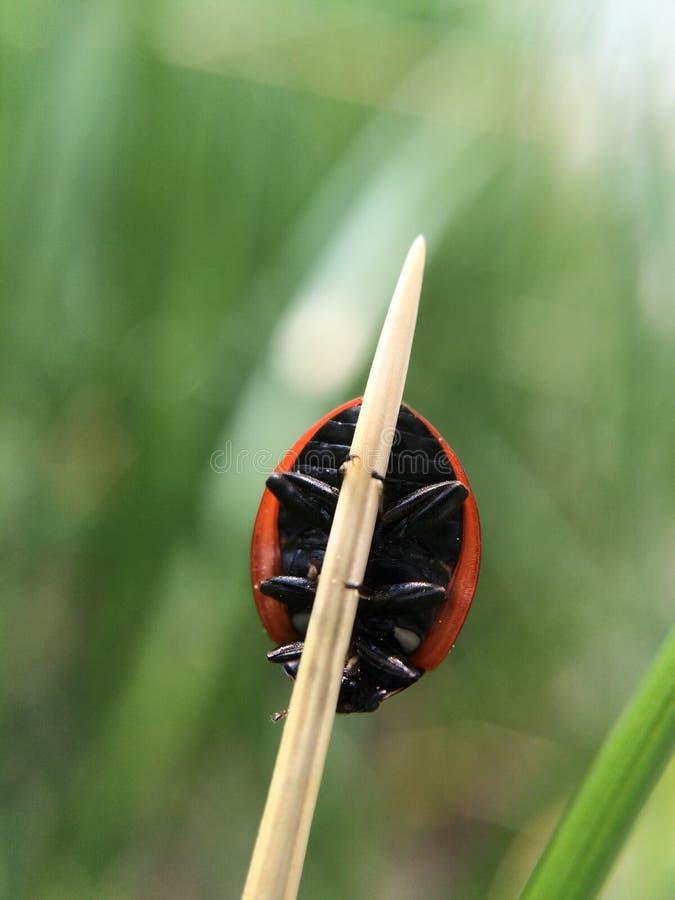Grenzen van een Dame Bug royalty-vrije stock afbeelding