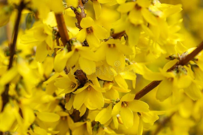 Grenzforsythie ist- ein dekorativer laubwechselnder Strauch von Gartenursprung Forsythie bl?ht vor mit gr?nem Gras und blauem Him stockfotografie