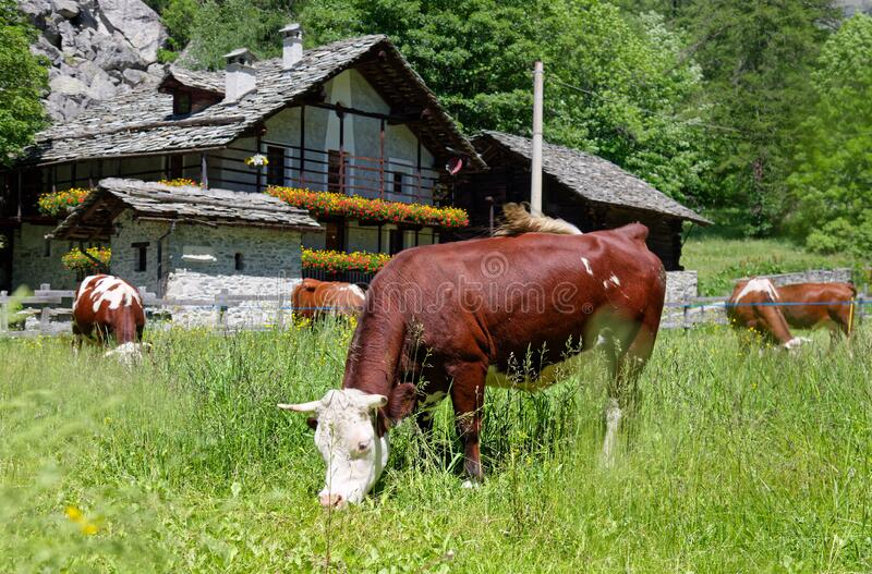 Gressoney, Aosta Valley, cows in a grass field stock photography