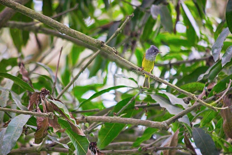 Gret Headed Canary Flycatcher, ceylonensis de Culicicapa, Dudhwa Tiger Reserve, Uttar Pradesh fotografía de archivo libre de regalías