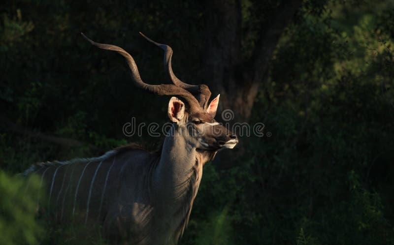 Greter Kudu在Kruger国家公园 库存照片