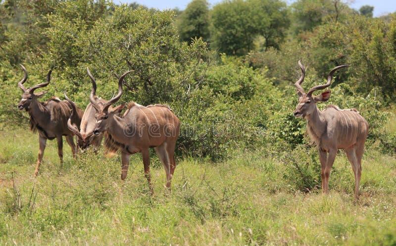Greter Kudu i den Kruger nationalparken arkivbilder