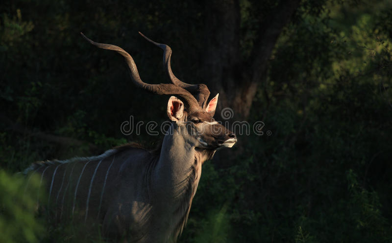 Greater Kudu in Kruger National Park stock photo