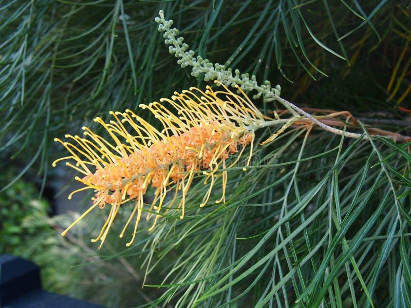 Grevillea,澳大利亚当地花,被采取在悉尼港口国立公园 免版税库存照片