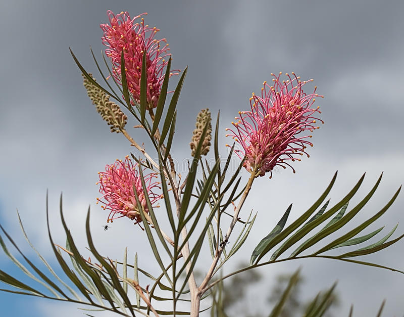Grevillea australien contre le ciel nuageux images stock