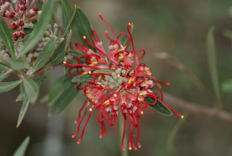 Grevillea czerwony kwiat zdjęcie royalty free