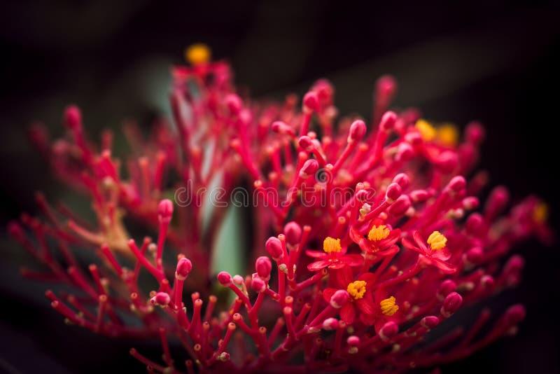 Grevillea - fleur d'araignée rouge image libre de droits