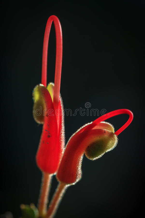 Grevillea stock images