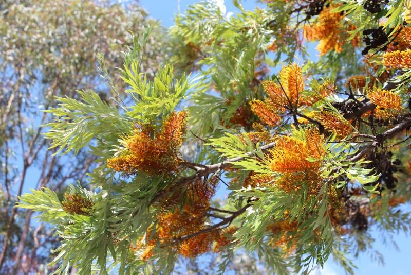 Grevillea Robusta Australian Silky Oak Tree stock photography