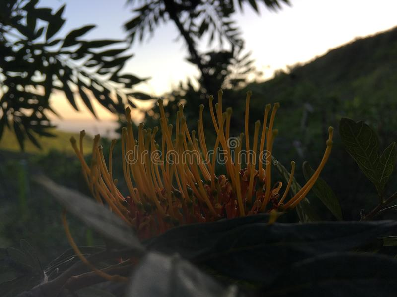 Grevillea Robusta, seidige Eiche, die in Waimea-Schlucht nahe Kekaha auf Kauai-Insel, Hawaii blüht lizenzfreies stockfoto