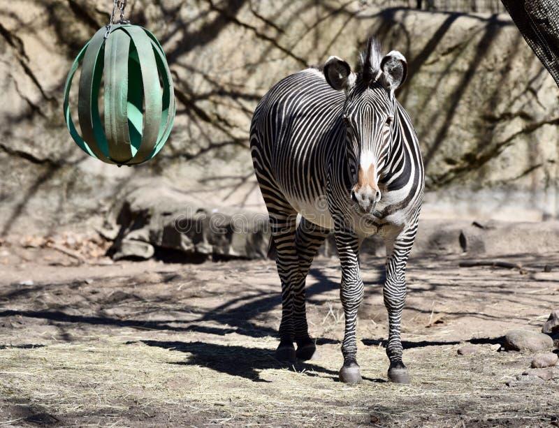 Grevy's-Zebra bei Lincoln Park Zoo stockbild