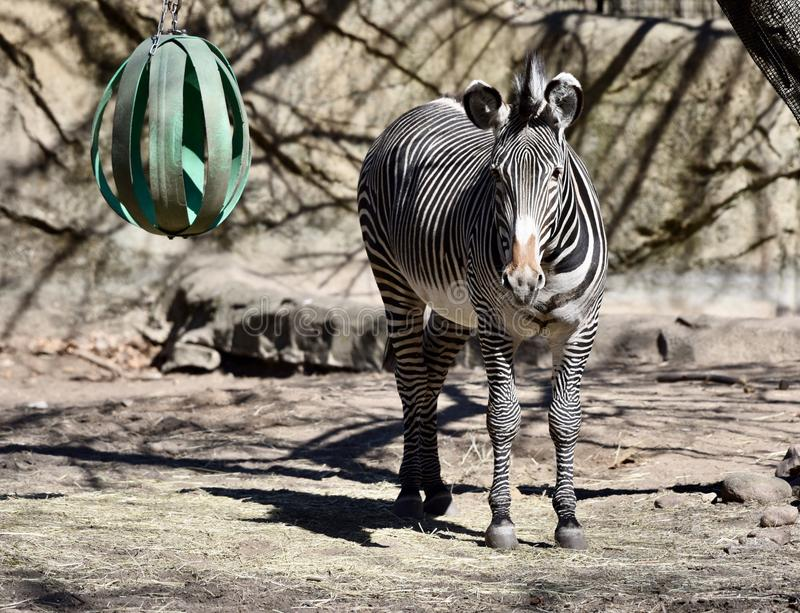 Grevy'szebra in Lincoln Park Zoo stock afbeelding