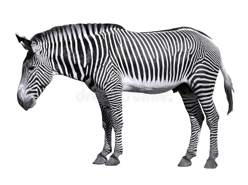 grevy查出的斑马 免版税图库摄影