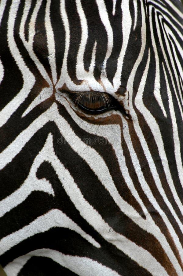 Download Grevy зебра s стоковое изображение. изображение насчитывающей прокладка - 495153