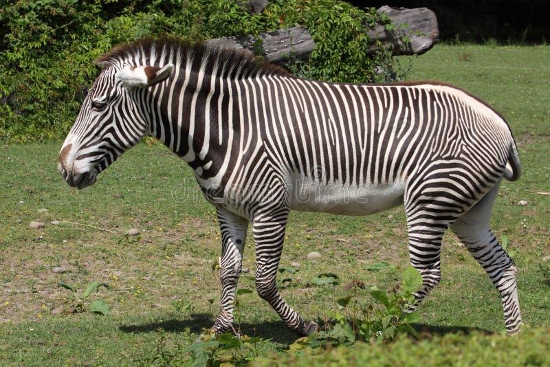 Grevy's zebra royalty free stock photo
