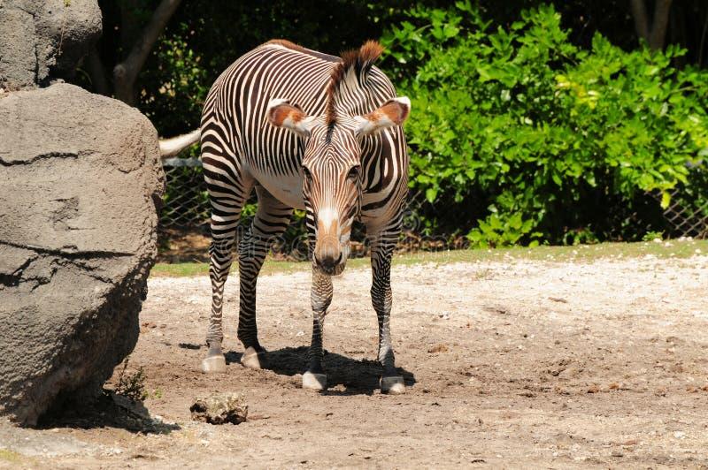 Download Grevy's  zebra stock image. Image of brown, closeup, closeups - 29030323