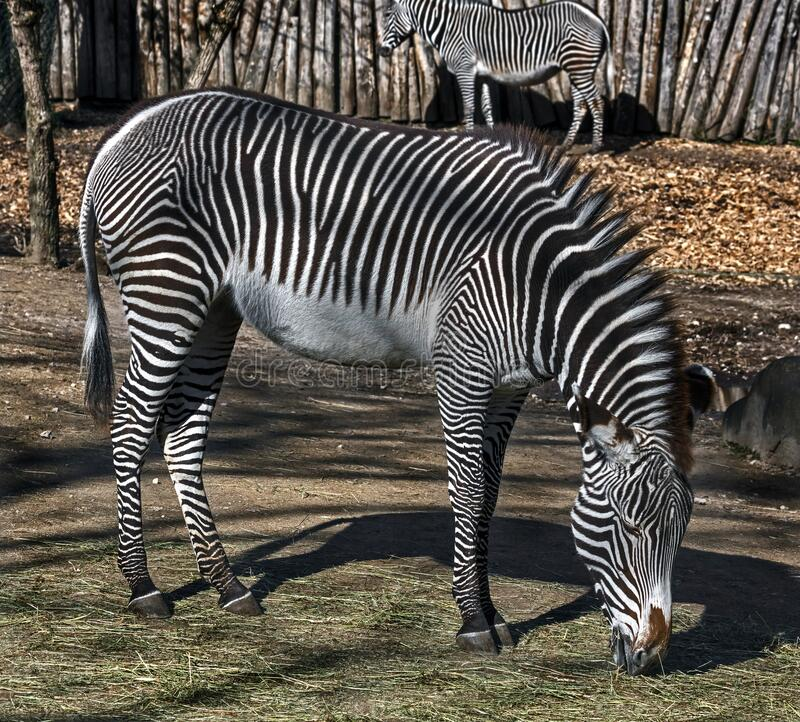 Grevy`s zebra eats hay 1 stock image