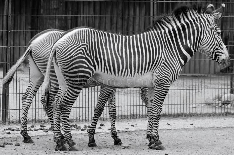 The Grevy`s zebra Equus grevyi stock photography