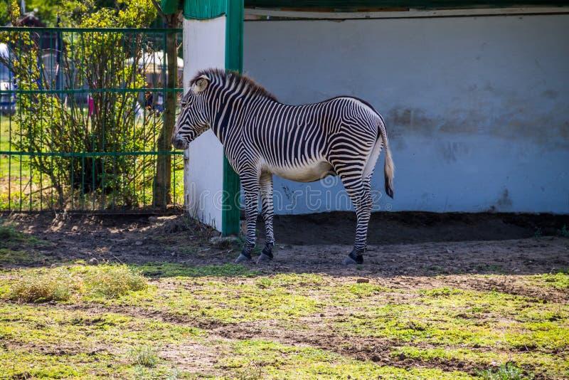Grevy`s zebra Equus grevyi stock photos