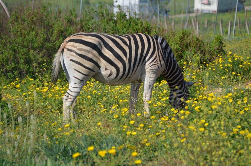 Grevy`s zebra Equus grevyi stock images