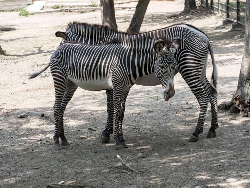 Grevy`s zebra, Equus grevyi, is a large zebra with dense stripes royalty free stock photos