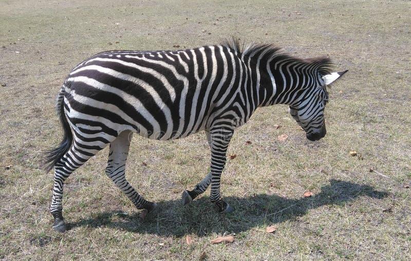 The Grevy`s zebra royalty free stock photo
