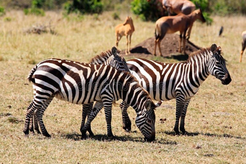 Grevy's Zebra royalty free stock photography