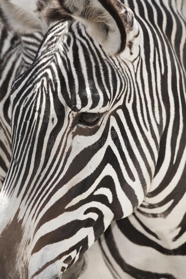 Grevy's Zebra Face Close Up. Vertical image of a the face of a Grevy's zebra close up royalty free stock photos