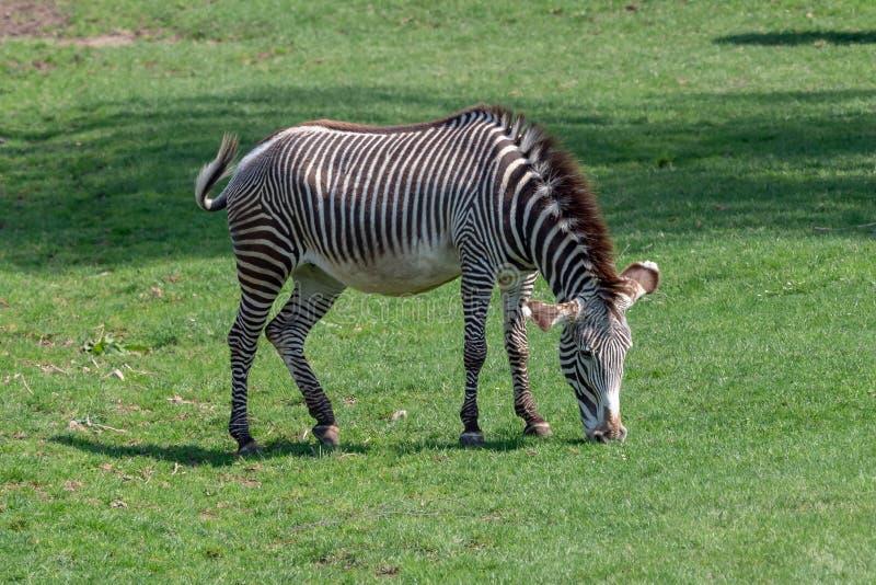 Grevy`s zebra feeding. Equus grevyi royalty free stock image