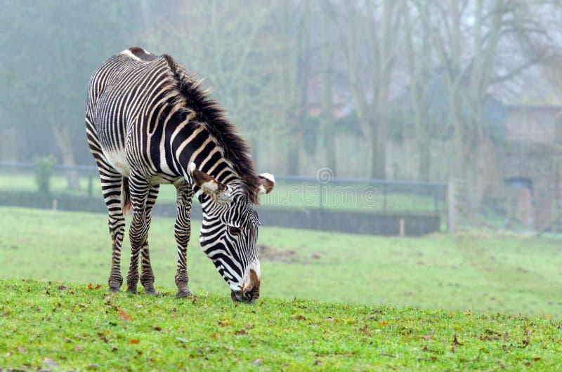 Grevy`s Zebra stock image