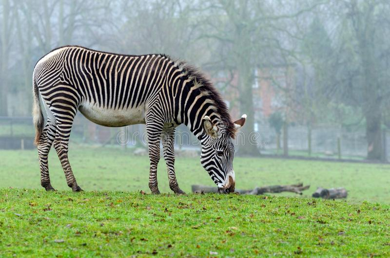 Grevy`s Zebra royalty free stock photos