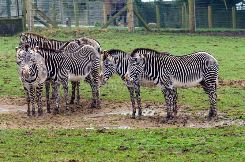 Grevy`s Zebra royalty free stock photography