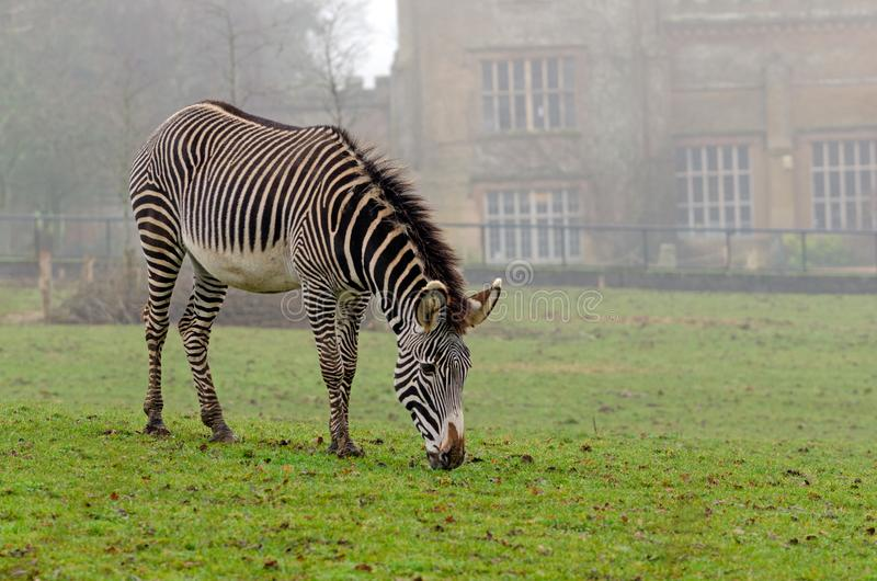 Grevy`s Zebra stock photo