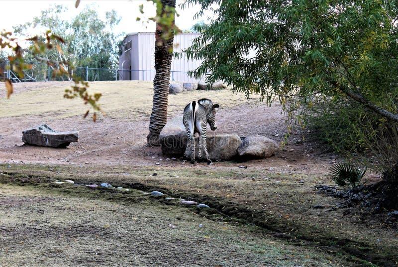 Grevy`s Zebra at the Phoenix Zoo, Arizona Center for Nature Conservation, Phoenix, Arizona, United States stock photos