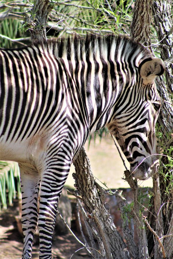 Phoenix Zoo, Arizona Center for Nature Conservation, Phoenix, Arizona, United States. Grevy`s Zebra at the Phoenix Zoo, Center for Nature Conservation, located royalty free stock photos