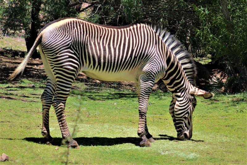 Zebra, Phoenix Zoo, Arizona Center for Nature Conservation, Phoenix, Arizona, United States royalty free stock photography