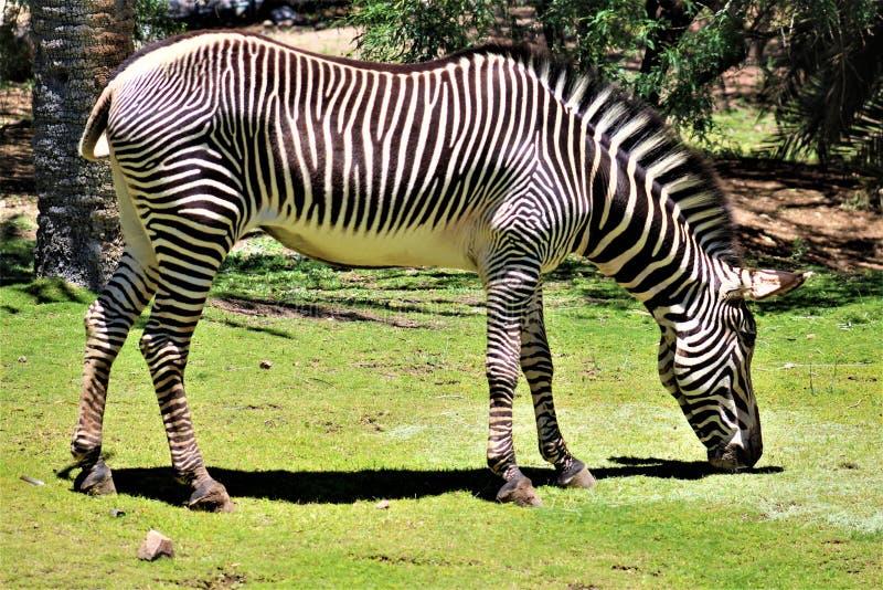 Zebra, Phoenix Zoo, Arizona Center for Nature Conservation, Phoenix, Arizona, United States stock photos