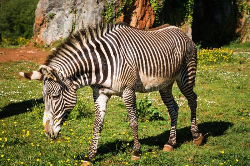 Grevy's Zebra, samburu national park, Kenya stock photo