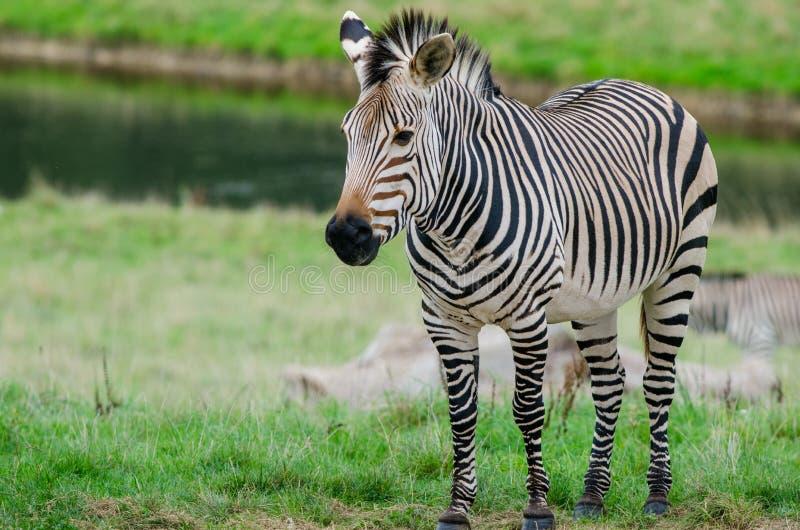 A Grevy`s Zebra stock photo