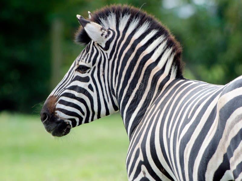 Grevy's Zebra royalty free stock photos